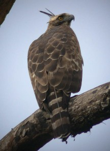 Mountain Hawk-Eagle (Nisaetus nipalensis) by Peter Ericsson