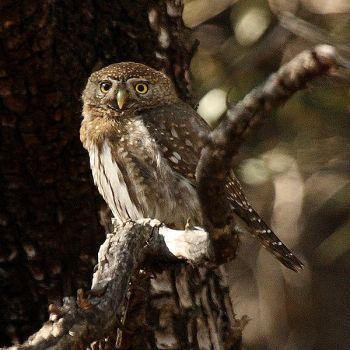 Mountain Pygmy Owl (Glaucidium gnoma) ©WikiC