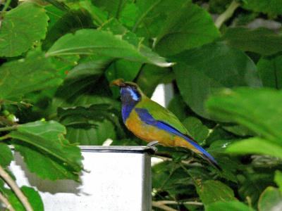 Orange-bellied Leafbird (Chloropsis hardwickii) by Lee at Wings of Asia