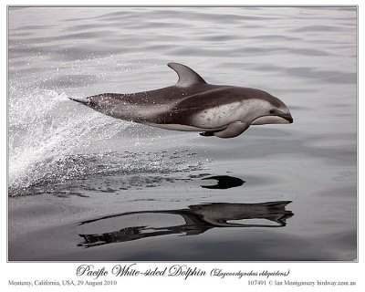 Pacific White-sided Dolphin by Ian