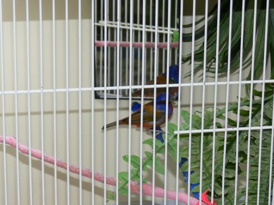 Painted Bunting by Lee National Aviary Hospital