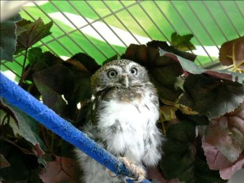 Pearl-spotted Owlet (Glaucidium perlatum) Breeding Room by Lee
