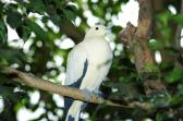 Pied Imperial Pigeon (Ducula bicolor) by Dan