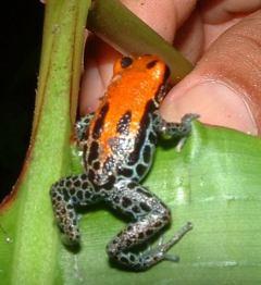 Poison Dart Frog - Dendrobatid Frog-Peru ©WikiC