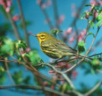 Prairie Warbler (Dendroica discolor) ©USFWS