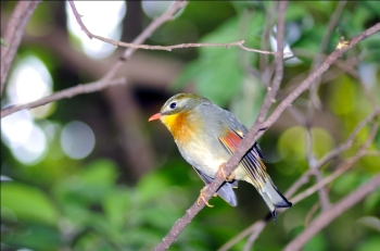 Red-billed Leiothrix (Leiothrix lutea) by Dan's Pix. at National Aviary