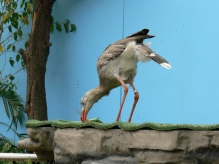 Red-legged Seriema (Cariama cristata) by Lee at National Aviary