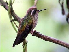 Speckled Hummingbird (Adelomyia melanogenys) by Ian
