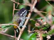 Speckled Piculet (Picumnus innominatus) by Ian