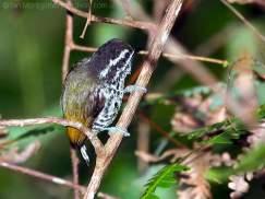 Speckled Piculet (Picumnus innominatus) by Ian