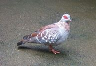 Speckled Pigeon (Columba guinea) ©WikiC
