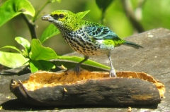 Speckled Tanager (Tangara guttata) ©WikiC