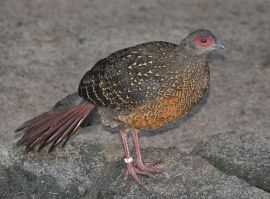 Swinhoe's Pheasant (Lophura swinhoii) Female ©WikiC