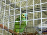 Turquoise-fronted Amazon (Amazona aestiva) Blue-fronted Amazon or Blue-fronted Parrot Breeding Section