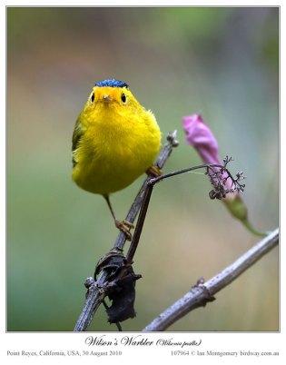 Wilson's Warbler (Wilsonia pusilla) by Ian
