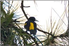Yellow-rumped Cacique (Cacicus cela) by Daves BirdingPix