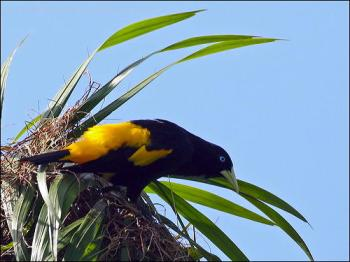 Yellow-rumped Cacique (Cacicus cela) by Ian