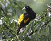 Yellow-rumped Cacique (Cacicus cela) by Kent Nickell