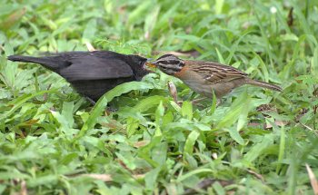 A Shiny Cowbird (Molothrus bonariensis) chick being fed by a Rufous-collared Sparrow (Zonotrichia Capensis)