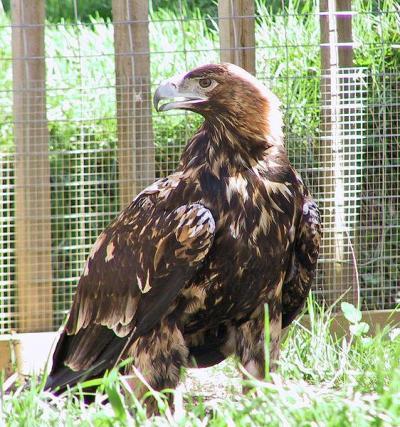 Adalbert's Eagle Aquila adalberti) ©WikiC