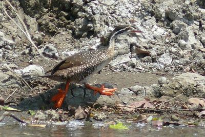 African Finfoot with puffy feet ©WikiC