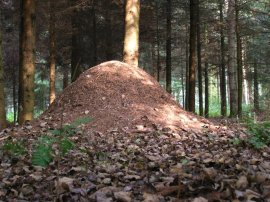 Ant Hill in Germany ©WikiC