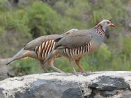 Barbary Partridge (Alectoris barbara) ©WikiC