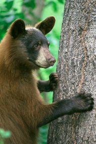 American Black Bear, Ursus americanus ©WikiC
