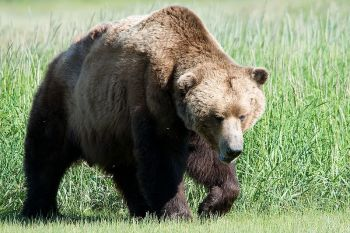 Brown Bear ©WikiC