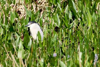 Black-crowned Night Heron at Lake Hollingsworth By Dan
