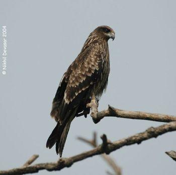 Black Kite (Milvus migrans) by Nikhil Devasar