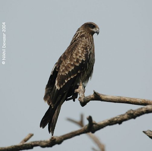 Black Kite (Milvus migrans) by Nikhil Devasar