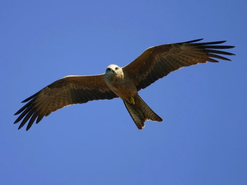Black Kite (Milvus migrans) by Ian
