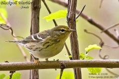Blackpoll Warbler (Dendroica striata) female by Kent Nickell