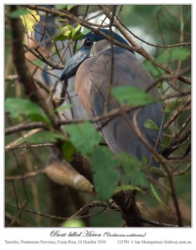 Boat-billed Heron (Cochlearius cochlearius) by Ian