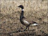Brant Goose (Branta bernicla) by Ian