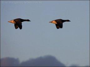 Brant Geese (Branta bernicla) by Ian
