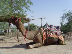 Camel Resting in the Cholistan Desert