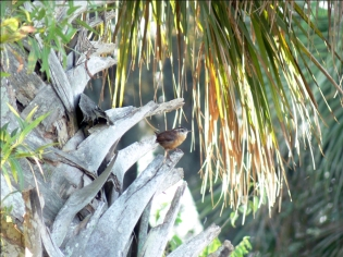 Carolina Wren (Thryothorus ludovicianus) by Lee at Circle B Bar Reserve 10-1-10