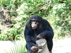 Chimpanzee at Lowry Park Zoo by Lee