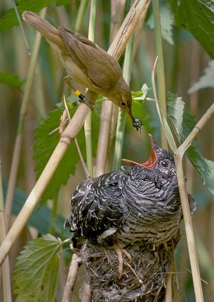 Common Cuckoo (Cuculus canorus) being raised by a Reed Warbler©WikiC
