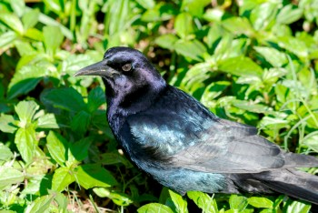 Common Grackle (Quiscalus quiscula) - Purple Form By Dan'sPix