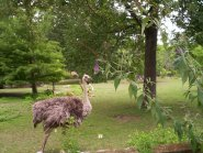 Common Ostrich (Struthio camelus) Memphis Zoo by Lee