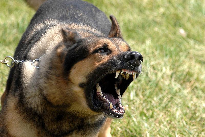 Military Dog©WikiC