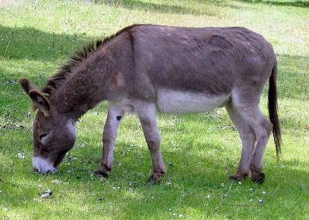 Donkey (Equus africanus asinus) ©WikiC