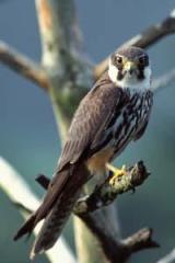 Eurasian Hobby (Falco subbuteo) ©WikiC
