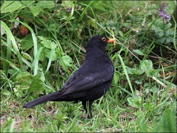 Common Blackbird (Turdus merula) by Ian