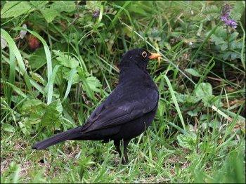 Common Blackbird (Turdus merula) by Ian