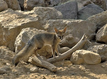 Fox - Blandford's Fox