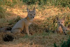 Fox - (Vulpes macrotis mutica) with pups